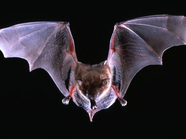 How Do Bats Communicate