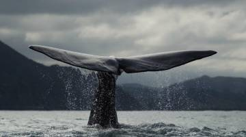 Dead Whale Explosion Canada