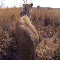GoPro Ad Shows Lions Lethal Hunt