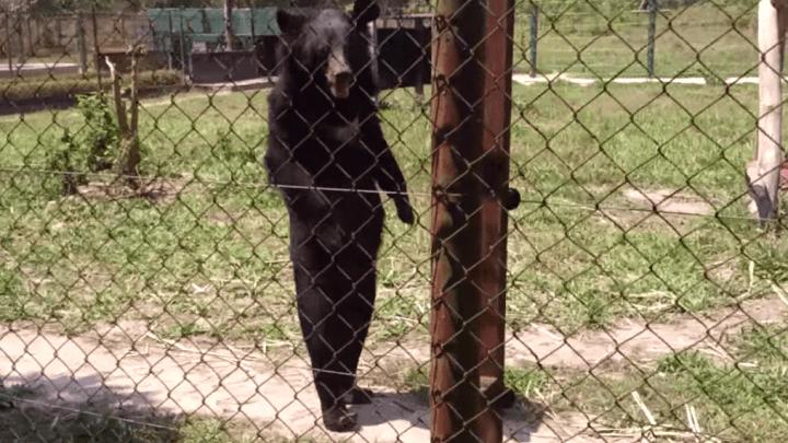 Bear Walking Or Guy In A Bear Suit Video