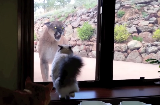 Funny Cat Video Kitty Stares Mountain Lion