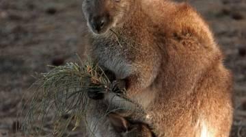 Kangaroo Lefties Study Research