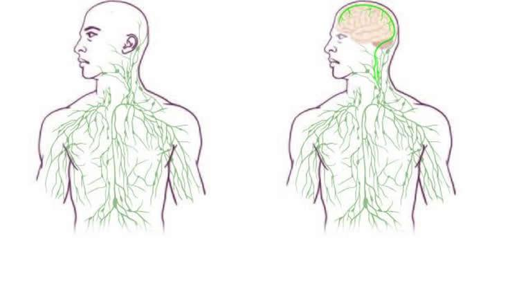 Brain Lymphatic Immune System Discovery