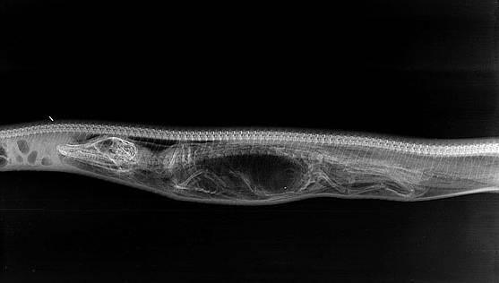 Python Digesting Alligator X-Ray Images
