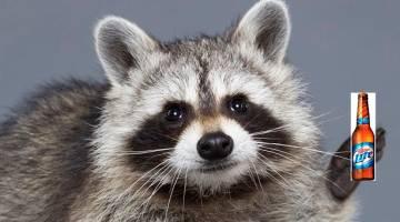 raccoon drunk