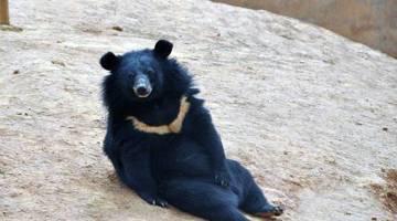 Asian Black Bears Raised Puppies Man China