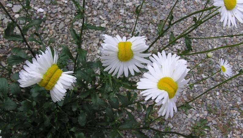 Fukushima Nuclear Disaster Mutant Daisies
