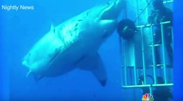 Biggest Great White Shark Video