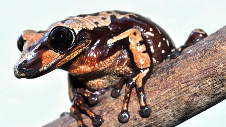 Venomous Frogs Deadlier Pit Viper