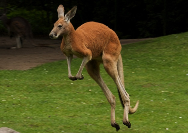 Kangaroo chase sends two golfers running for their lives – BGR