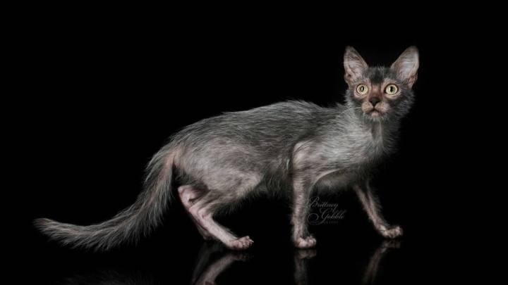 Lykoi Werewolf Cat Breed Created