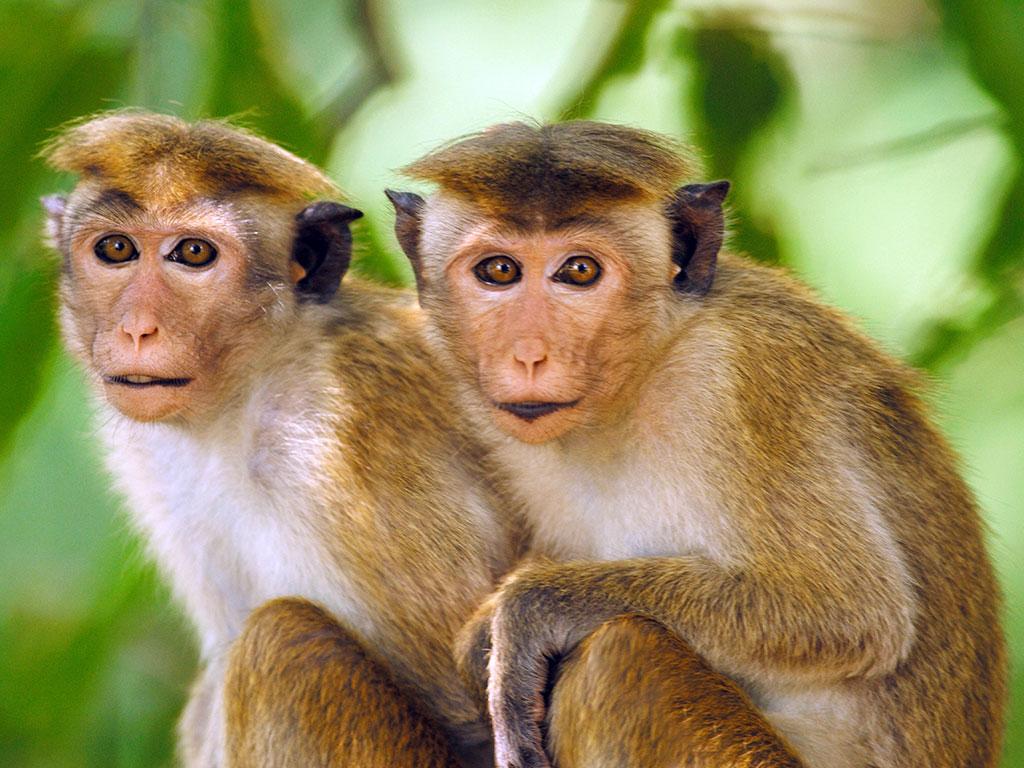 Autistic Monkeys Genetically Engineered China