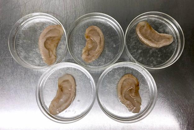 andrew-pelling-ears-apple-human-tissue