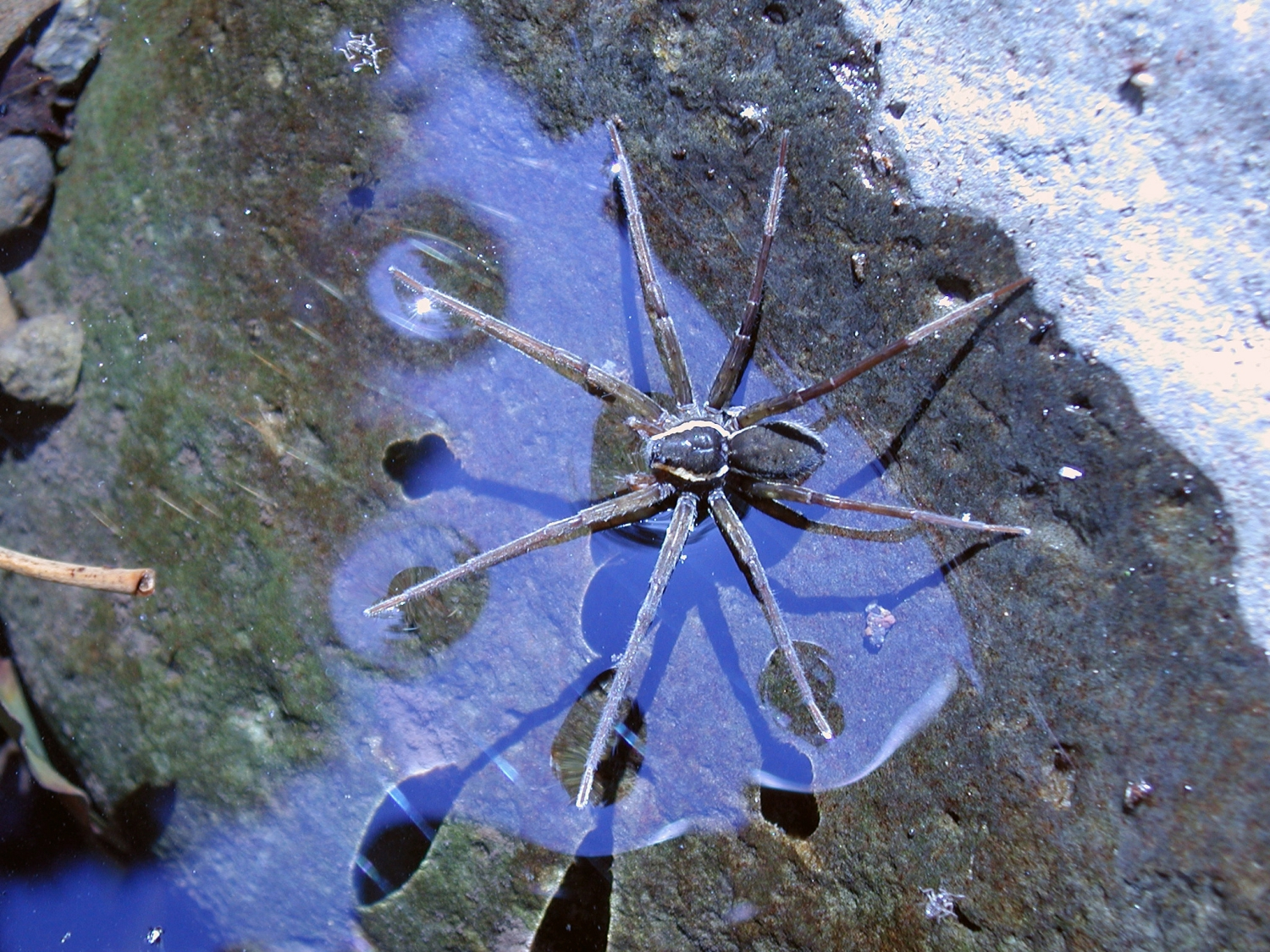 Fish Eating Spider Dolomedes Briangreenei Discovered