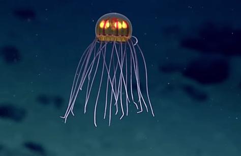 Jack O Lantern Jellyfish Discovered