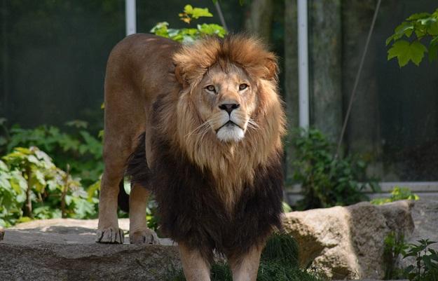 Suicide By Lion