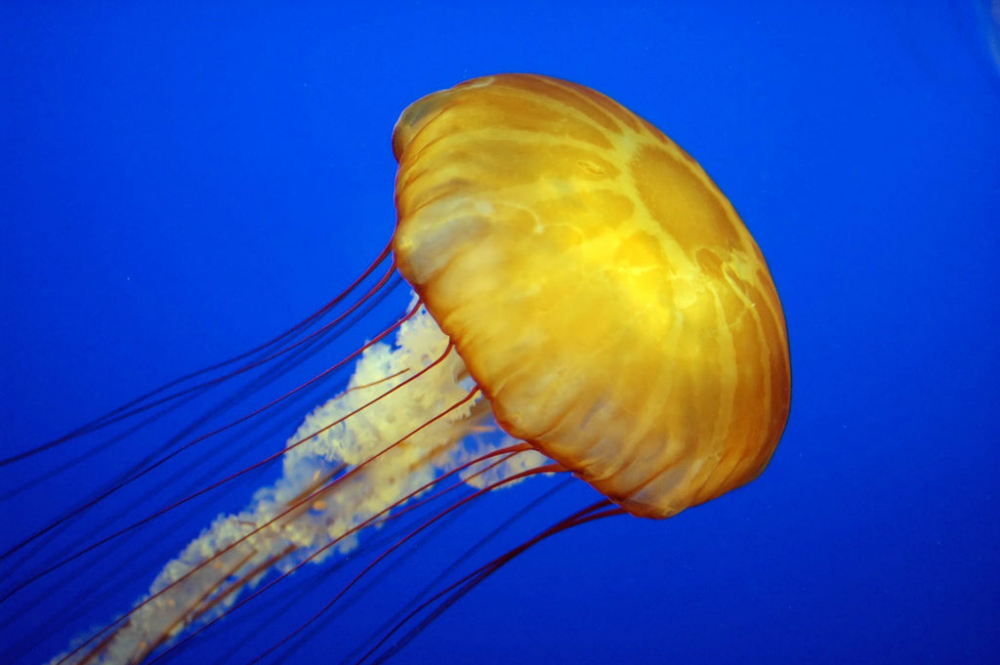 Jellyfish Squid Artificial Skin Material