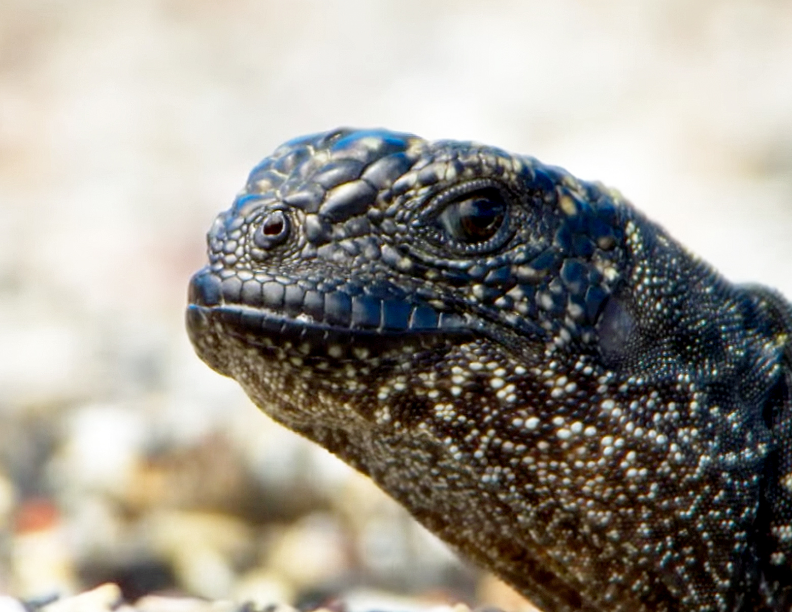 snakes vs iguana