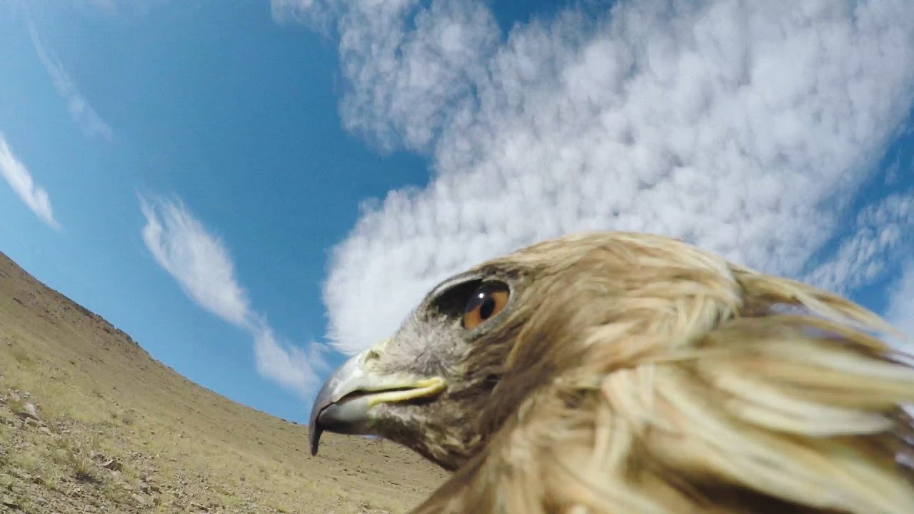 GoPro eagle fox