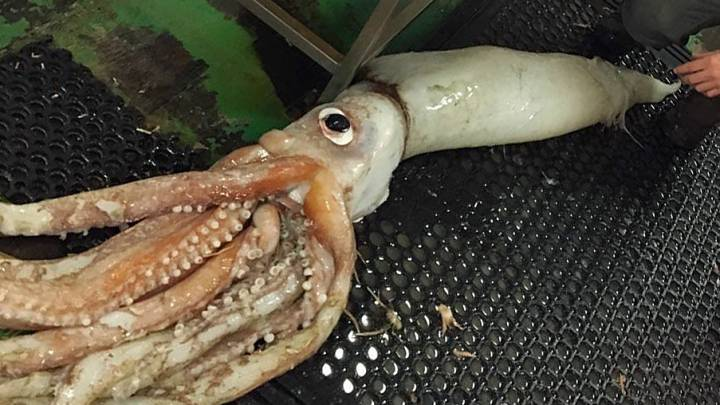 giant squid caught