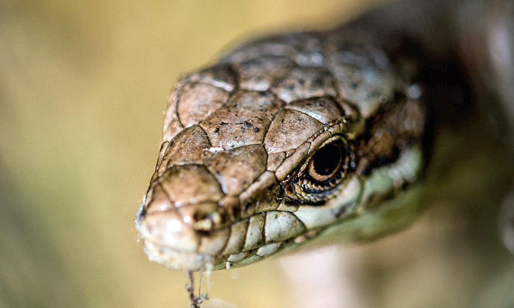 lizard man sighting