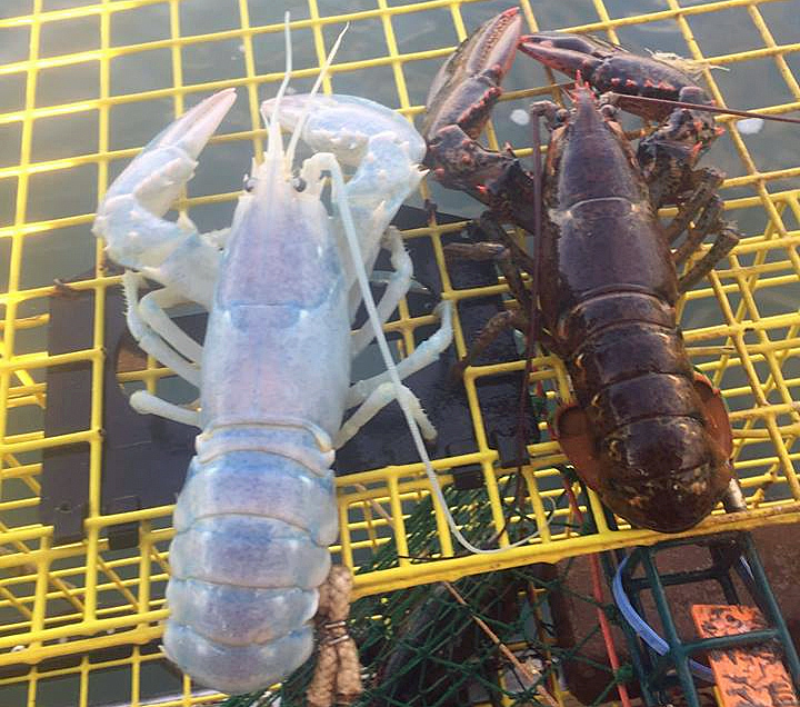 ghost lobster