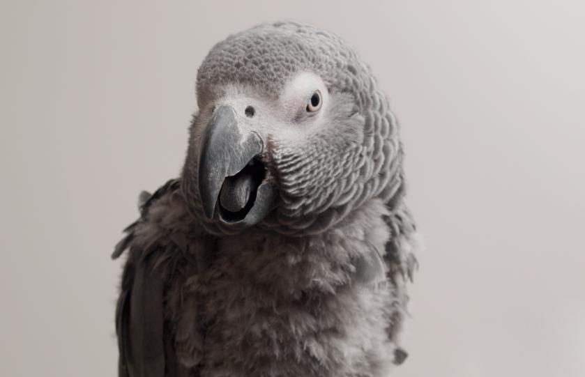 alexa parrot