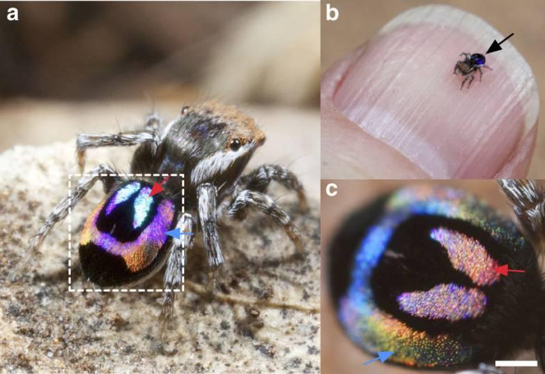 peacock spider rainbow