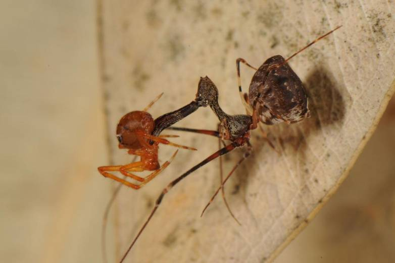 Spider-killing Pelican Spiders