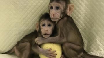 monkeys cloned