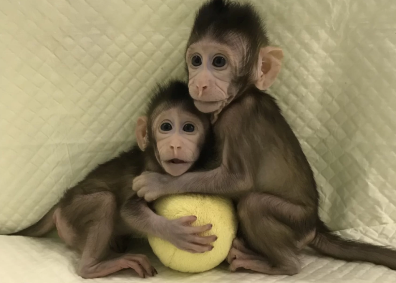 monkeys cloned