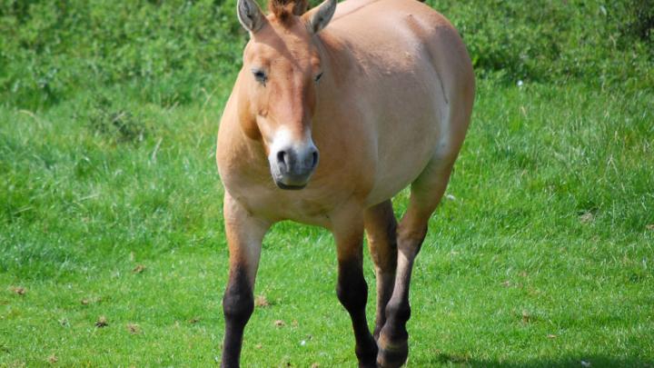 last wild horse