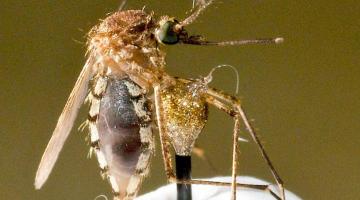 mosquito torture test