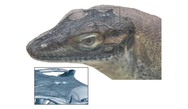 four-eyed lizard