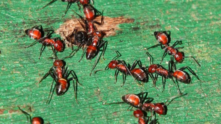 exploding ants