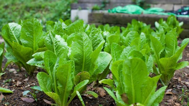 romaine lettuce e coli