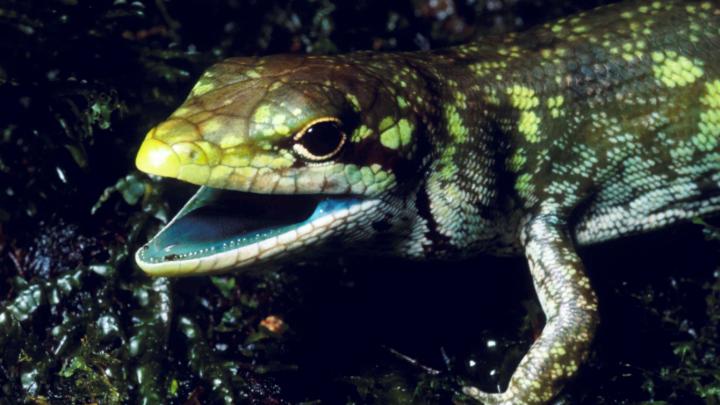 green blood lizards