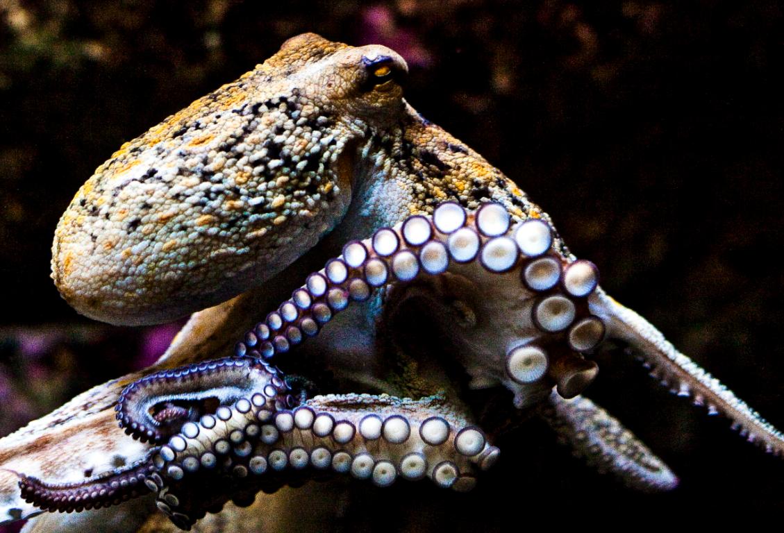 octopus aliens