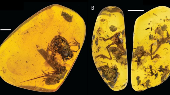 frog amber fossil