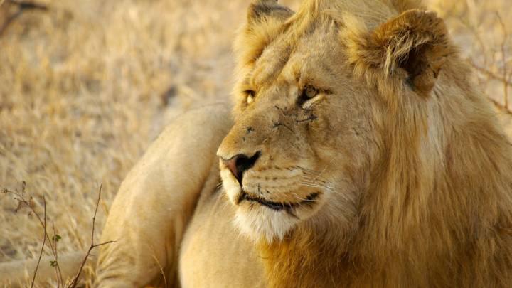 lions kill poachers