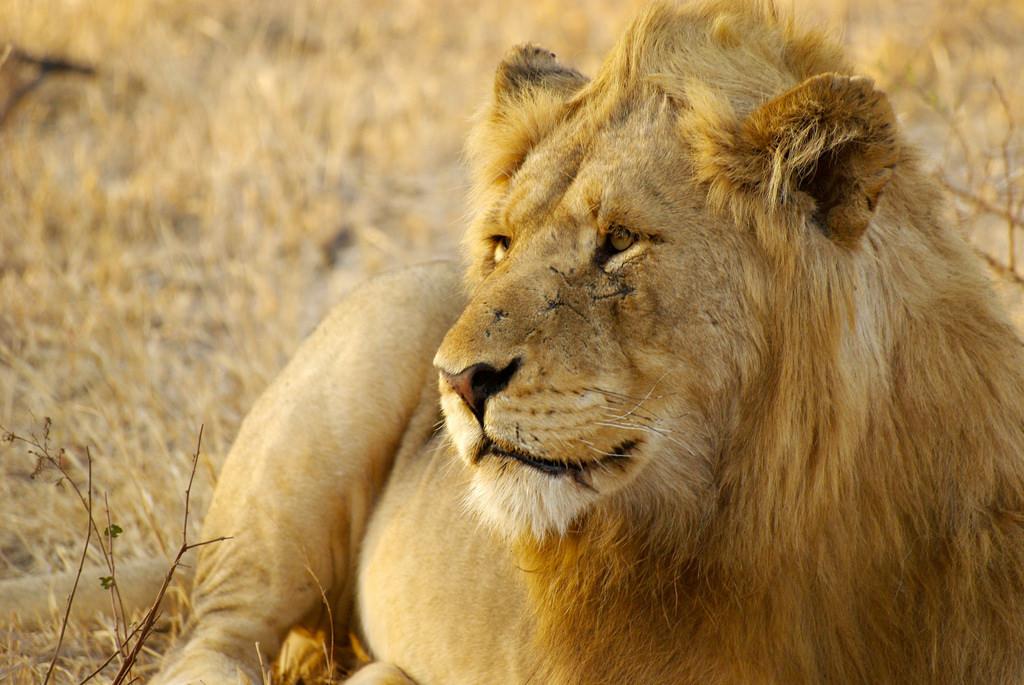 poacher eaten by lions
