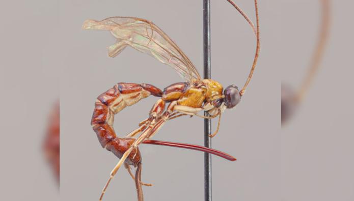 wasp stinger