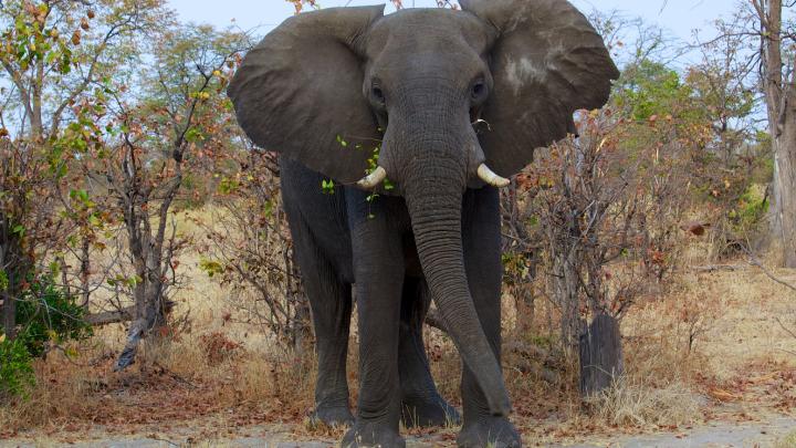 elephant cancer