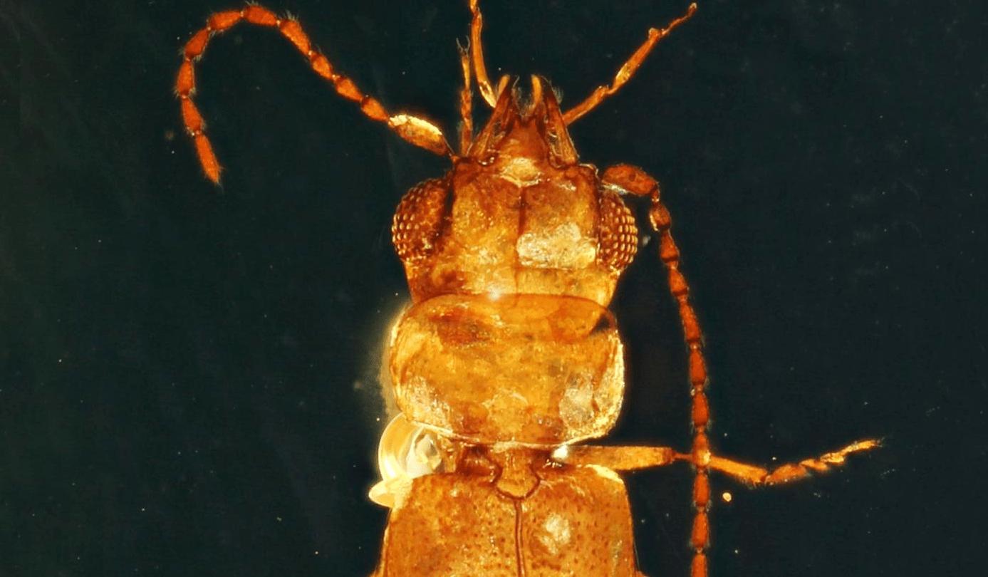ancient beetle pollen