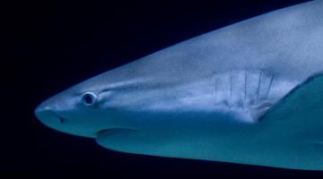 shark bite infection