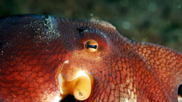octopus mdma