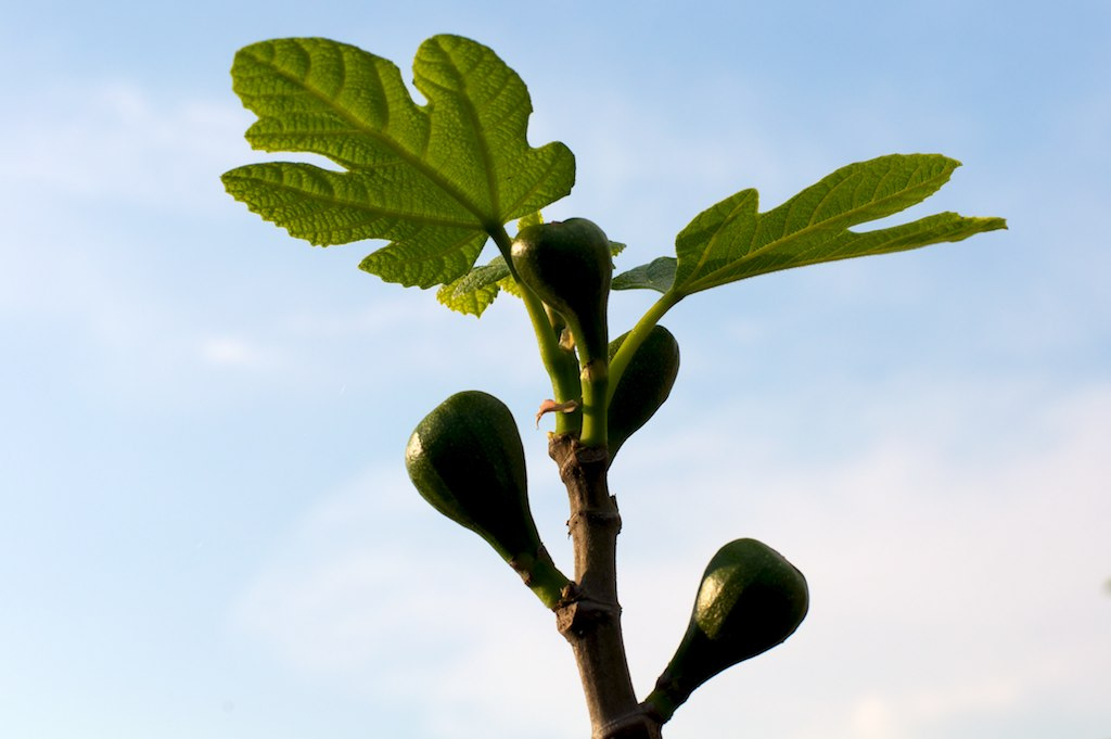 fig tree murder victim