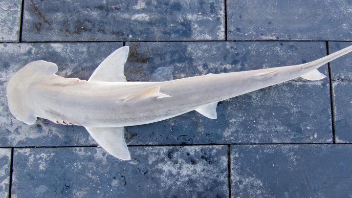 omnivorous shark