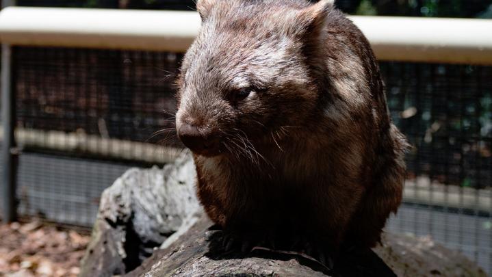 wombat poop