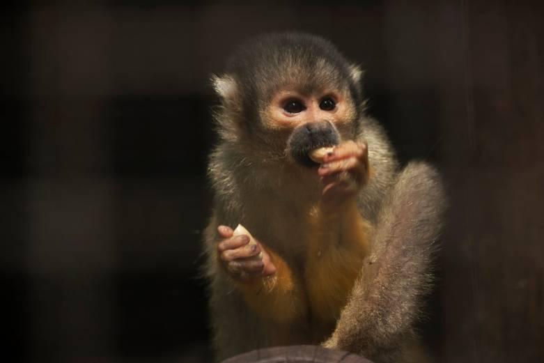 fda monkeys